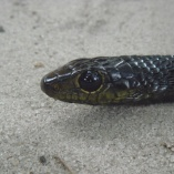 Jackson\'s Tree Snake (Thrasops Jacksoni)