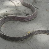 Cape File Snake (Mehelya Capensis)