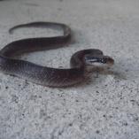 White-lipped /lip/ Snake (Crotaphopeltis Hotamboeia)