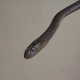 Large-Eyed Cat Snake (Telescopes Dhara)