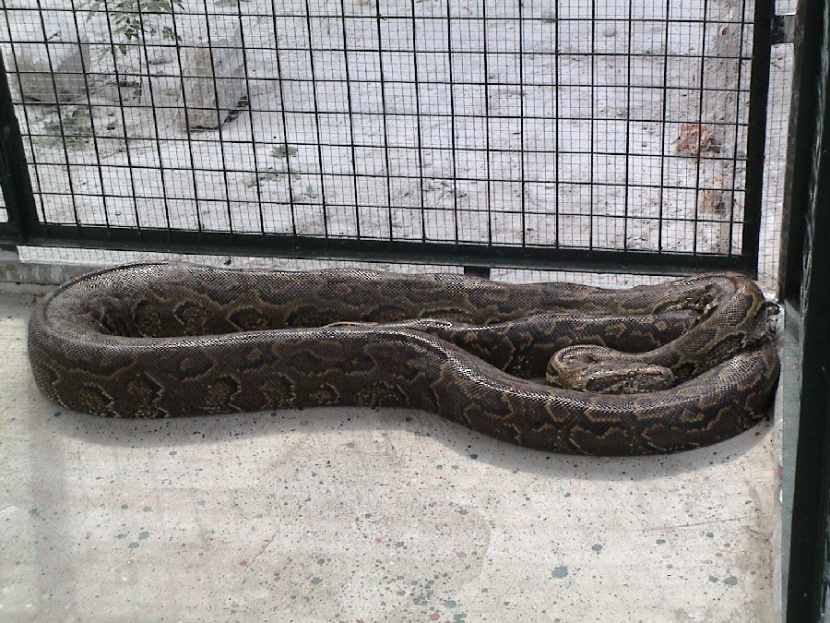 African Rock Python (Python Natalensis)